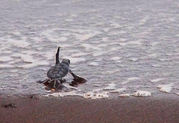 コスタリカのウミガメの赤ちゃん海へ