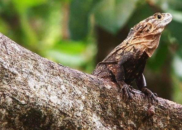 コスタリカのイグアナ