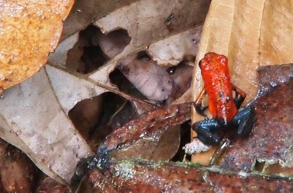 コスタリカのイチゴヤドクガエル