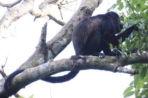 コスタリカの猿