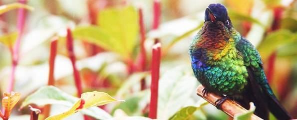 コスタリカのハチドリ