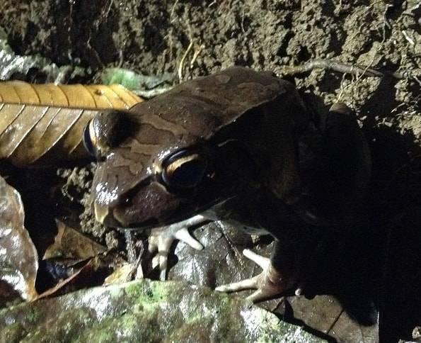 コスタリカのカエル