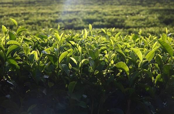 セイロンティーの茶畑