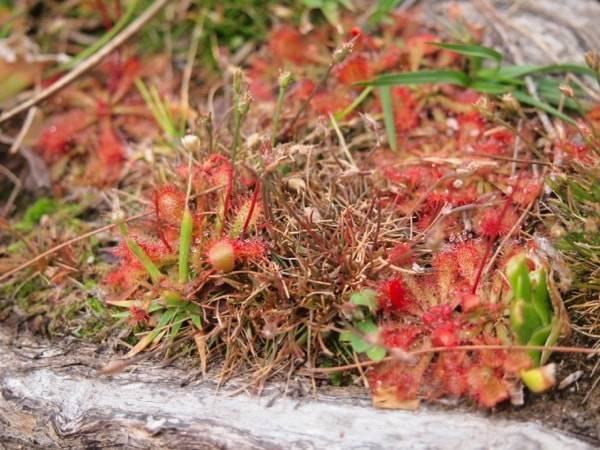 スタンソープ・ブーヌーブーヌー国立公園の食虫植物