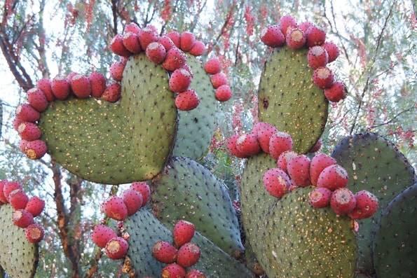 メキシコの食用サボテン