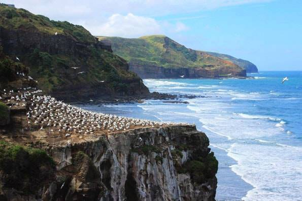 オークランドのムリワイビーチ・カツオドリ群生地 (Muriwai Gannet Colony)