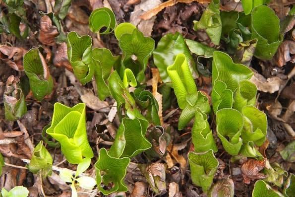 ニュージーランド・オークランド・ランギトト島の植物