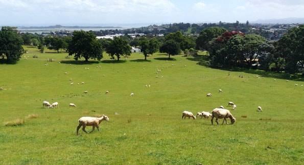 オークランドのワンツリーヒル (One Tree Hill)の羊