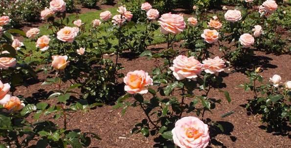パーネル・ローズガーデン (Parnell Rose Garden/Dove-Myer Robinson Park)