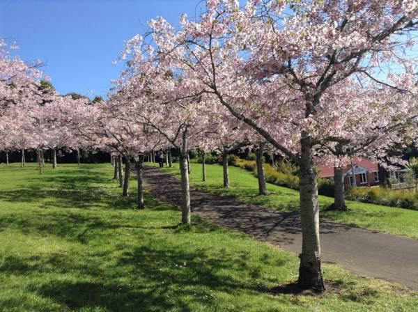 オークランドドメインの桜並木