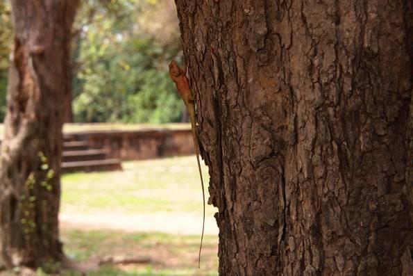 ロリュオス遺跡群で見たトカゲ