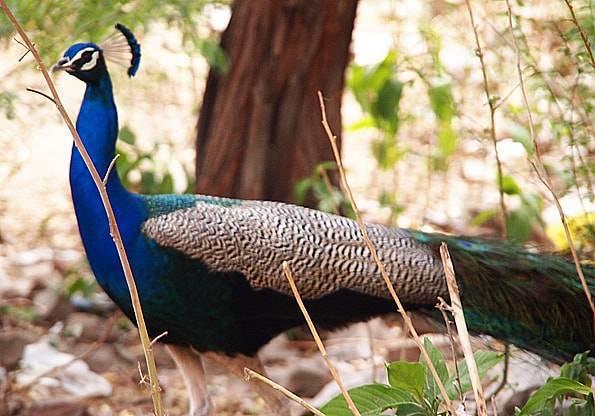 ナルガール要塞の孔雀