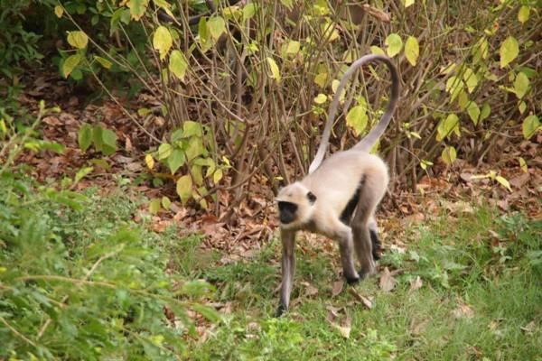 インドの世界遺産カジュラホ寺院群でみた猿