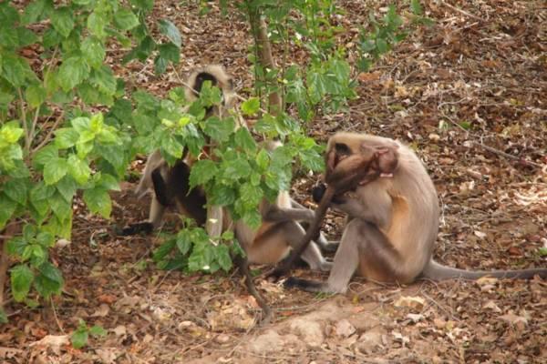 インドの世界遺産カジュラホ寺院群にいた猿