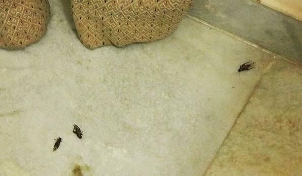 カジュラホで大量発生したコオロギ