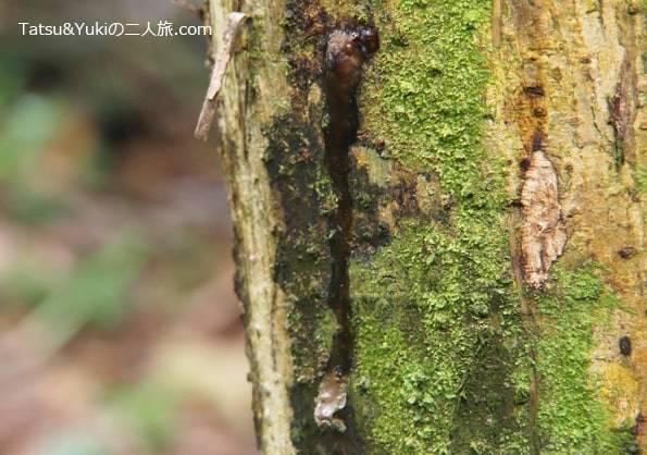 コスタリカ・サラピキの天然ゴムの木
