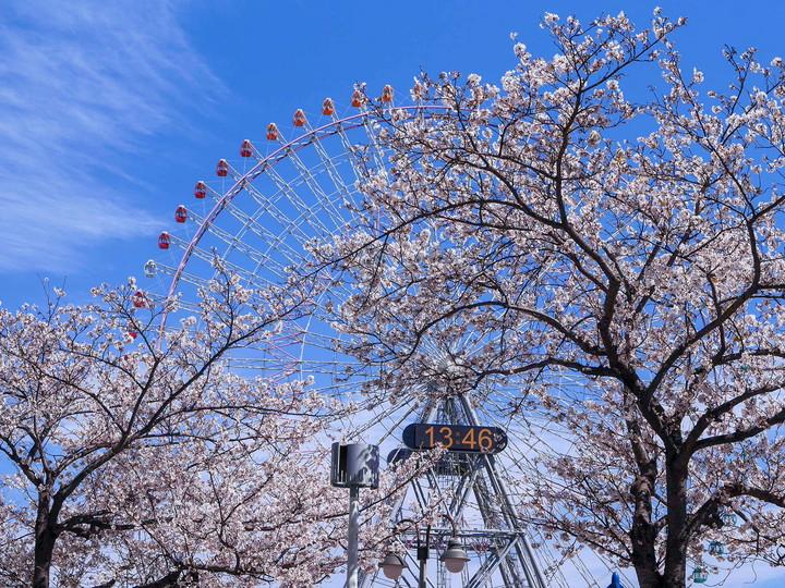 みなとみらい 桜