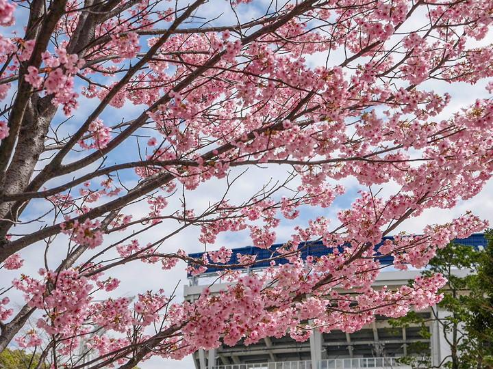 関内駅前 早咲き桜