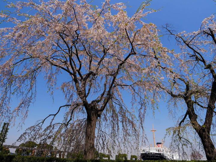 山下公園 枝垂れ桜