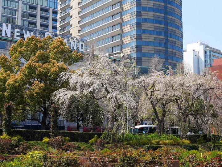 山下公園 枝垂れ桜 2020年