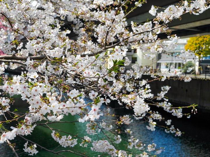 元町 シドモア桜