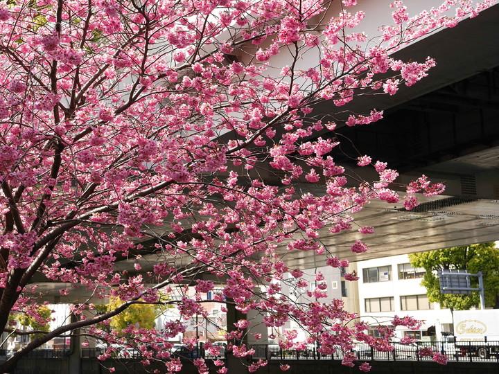 横浜 元町 桜