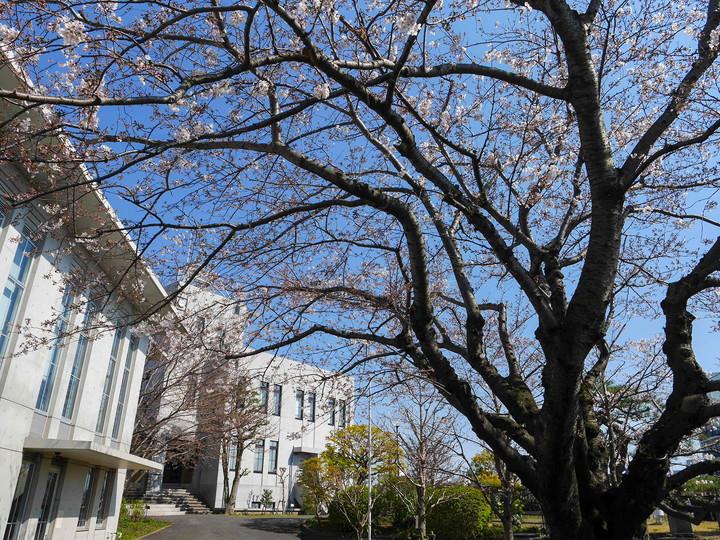 横浜地方気象台 桜 標本木