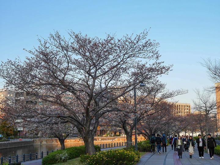 汽車道 桜