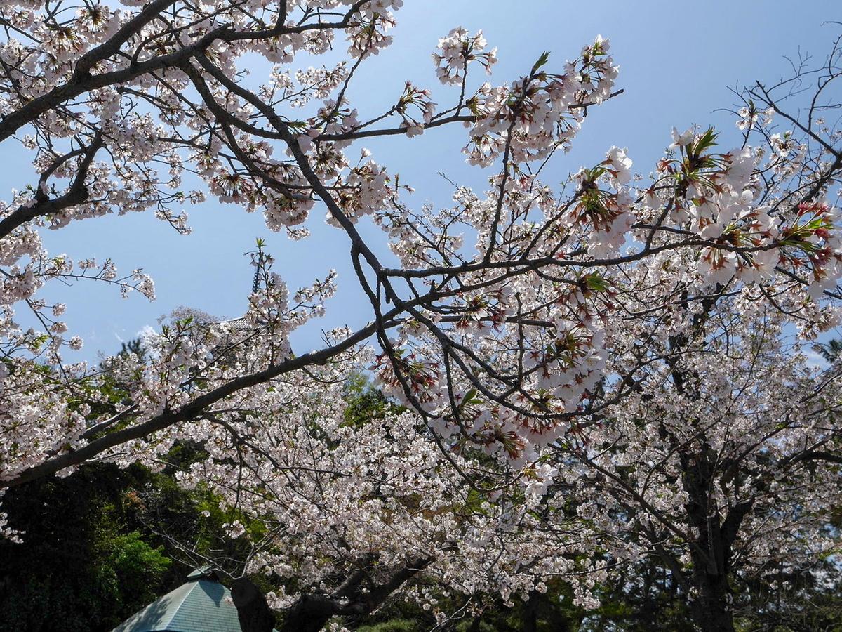 横浜 三溪園 2020年の桜の様子