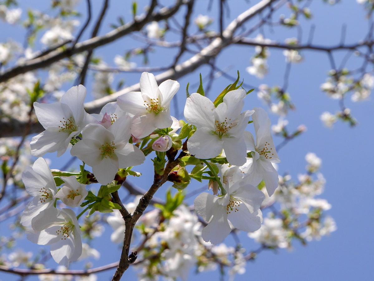 三溪園 柳津高桑星桜