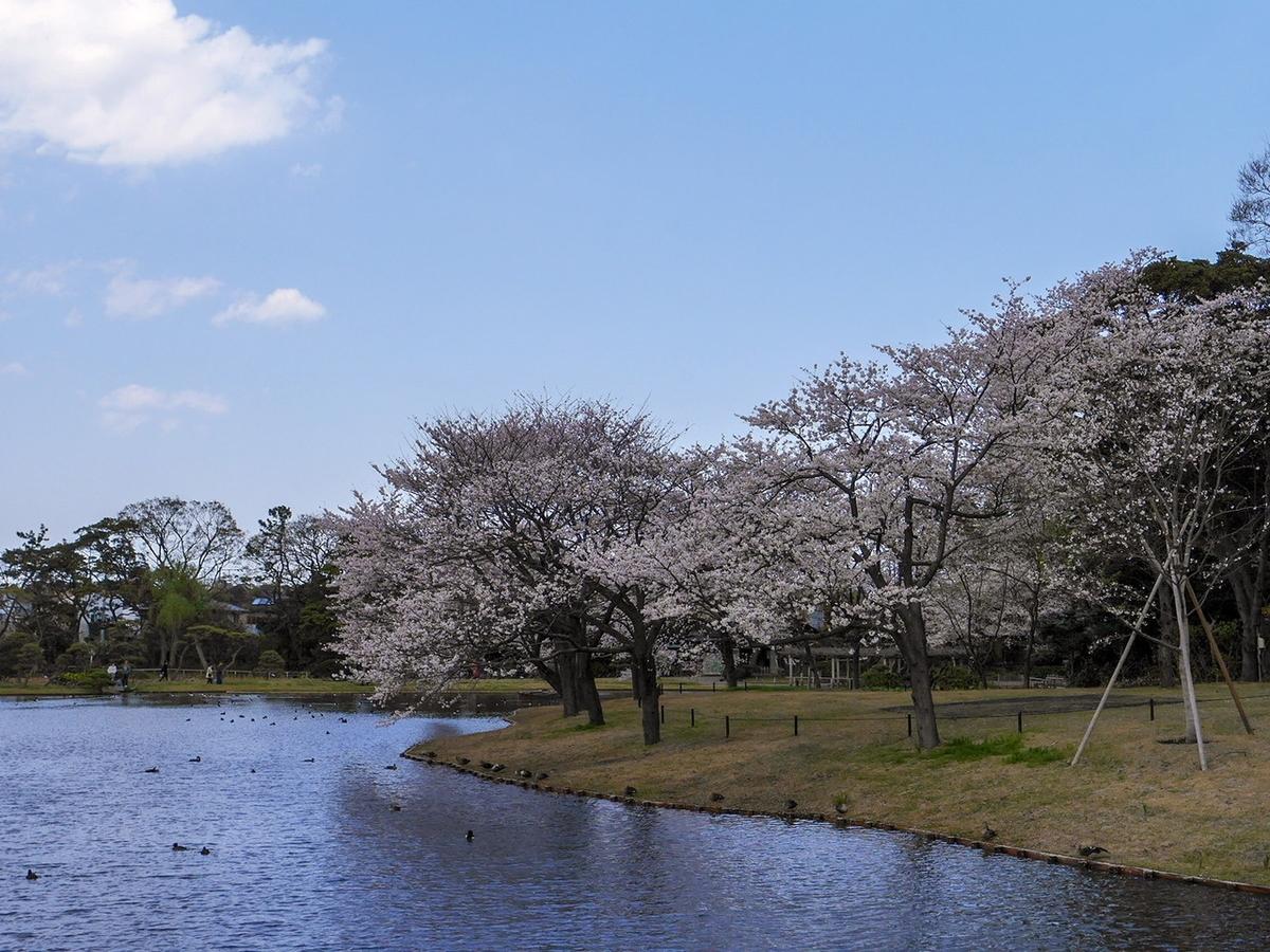 大池周辺の桜