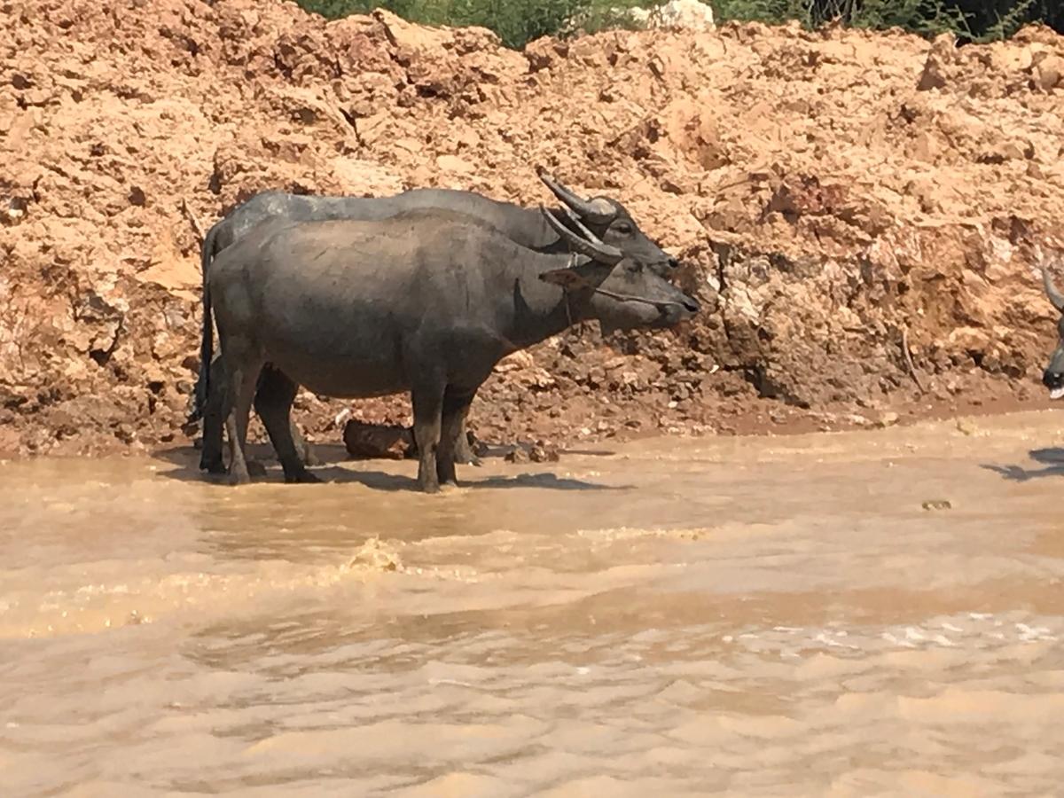 メコン川で水浴びする水牛