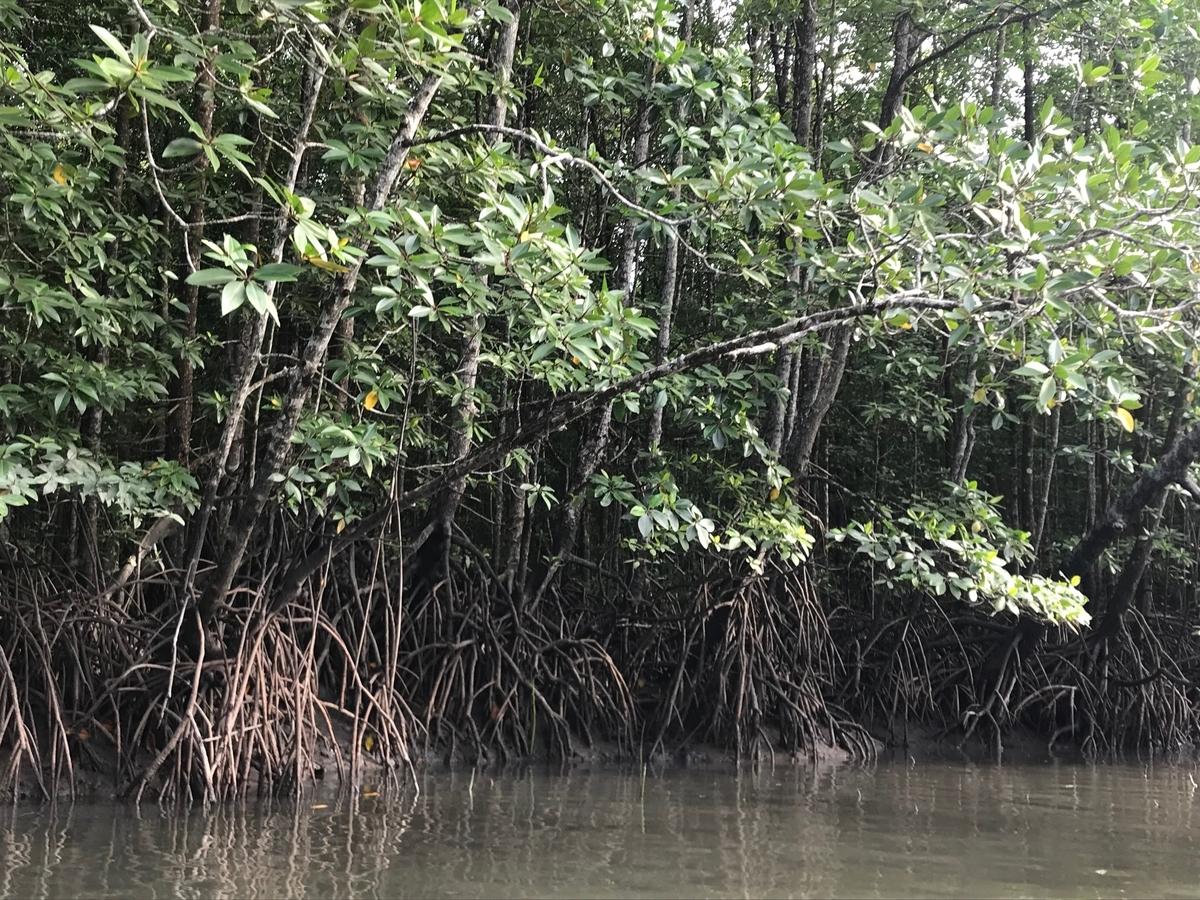 ランカウイ島のマングローブ
