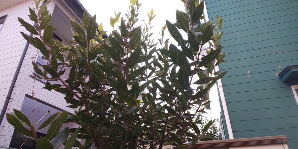 月桂樹 高い