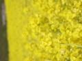 [菜の花][豊浦町][下関市][山口県]