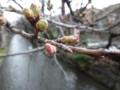 [桜][京都][木屋町][DSC-TX300V]