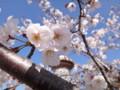 [桜][DSC-TX300V][志摩市]