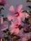 [花][ムクゲ][ピンク]