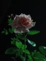 [バラ][薔薇][夜][二条][京都]