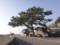 [福井県][能登家の松][景観重要樹木]