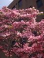 [ハナミズキ][京都][京都市][花][flower]