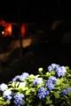 [三室戸寺][宇治市][あじさい][アジサイ][紫陽花][京都][夜][ライトアップ][kyoto][hydrangea]