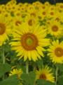 [ひまわり][ヒマワリ][向日葵][Sunflower][flower][yellow][黄色]