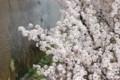 [桜][京都][鴨川][京都市]