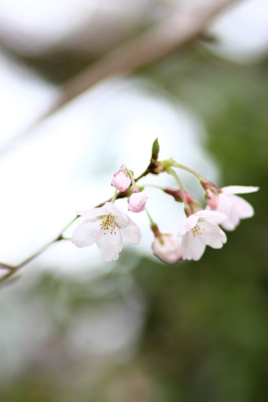 [京都][桜][菅大臣神社][kyoto][sakura]