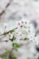 [京都][桜][木屋町][kyoto][sakura]