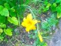 [Flower]黄色い花