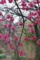 [花]カンヒザクラ