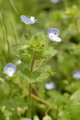 [花]オオイヌフグリ