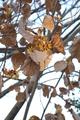 [花]シナマンサク